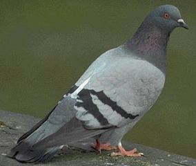 desinfection-pigeon
